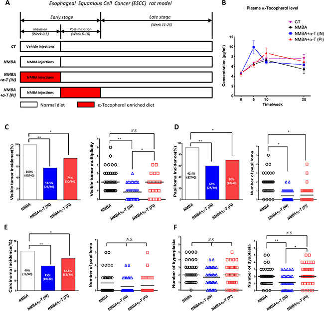 Esophageal tumorigenesis was suppressed by dietary supplementation with α-Tocopherol at the initiation stage and post-initiation stage in ESCC rat model.