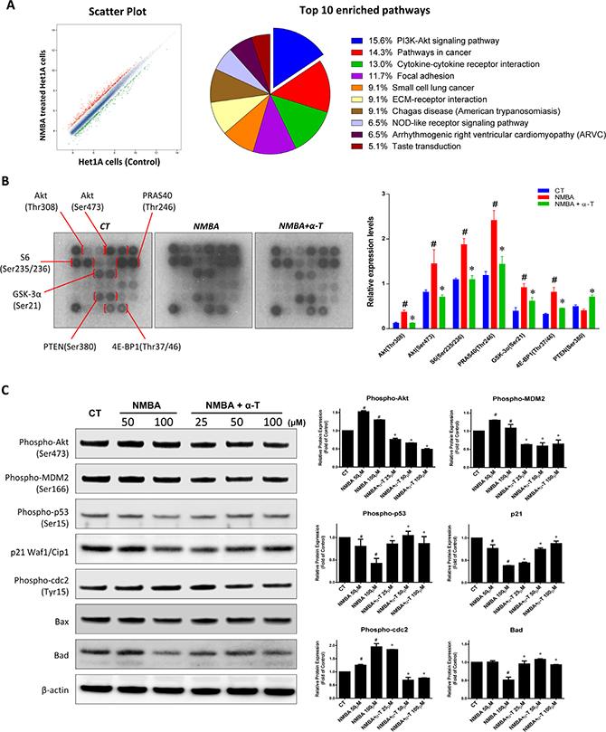 α-Tocopherol inhibited ESCC initiation by targeting Akt signaling pathway in Het-1A cell model.