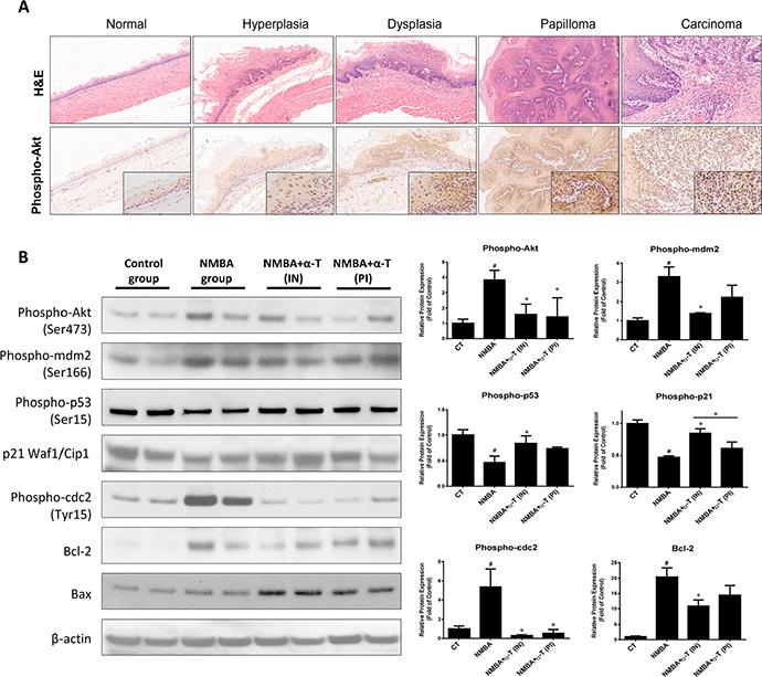 α-Tocopherol attenuated the activation of Akt signaling pathway in ESCC rat model.