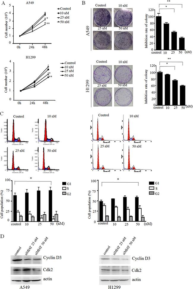 MIAT knockdown represses cell proliferation and cell cycle progression in vitro.