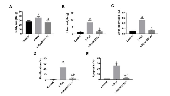 Suppression of hepatocarcinogenesis following HSF1 inactivation is accompanied by normalization of body, liver, and cellular parameters in mice.