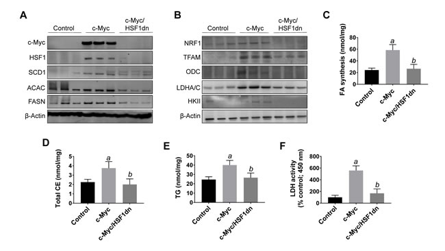 Suppression of hepatocarcinogenesis following HSF1 inactivation is accompanied by downregulation of c-Myc and its downstream effectors in the mouse liver.