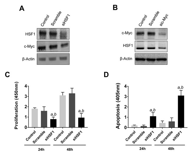 Reciprocal regulation of HSF1 and c-Myc and growth restraint following HSF1 silencing in the mouse HCC3-4 c-Myc cell line.