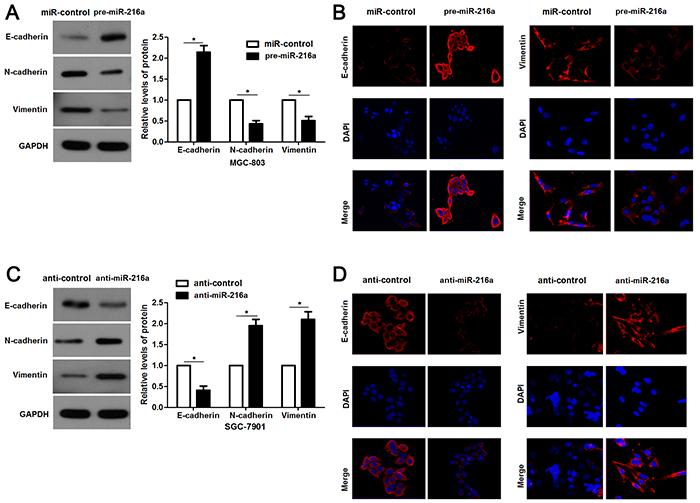 miR-216a retrains EMT process of GC cells.