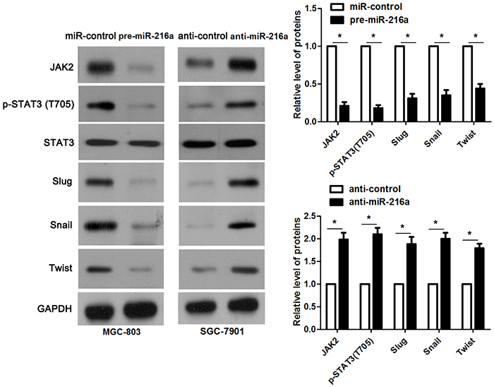 miR-216a inhibits activation of JAK2/STAT3 pathway.