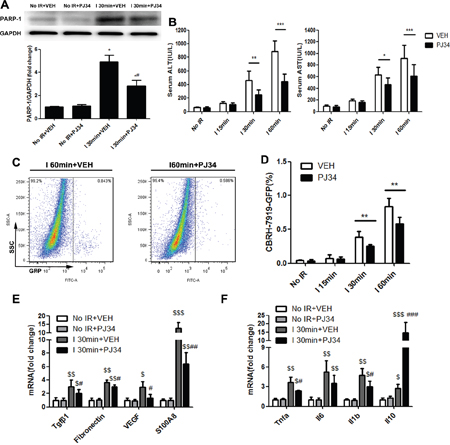 PARP-1 inhibition decresed the susceptibility of the liver to recurrence after IR injury in mice.