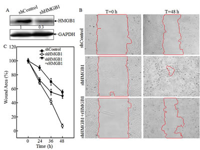 Knockdown of HMGB1 increased lung cancer A549 cell migration, invasion
