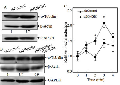 HMGB1 Knockdown increased the β-Actin protein expression and Polymerization, and cytoskeleon formation.