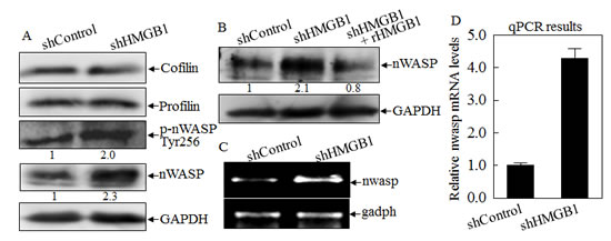 HMGB1 inhibited nWASP expression at both protein and mRNA levels.