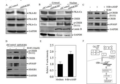 HMGB1 inhibited PKA-Ca and CREB nuclear localization in A549 cells.