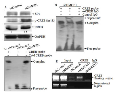 HMGB1 downregulated nWASP expression by inhibiting CREB phosphorylation and activation.