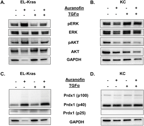 Regulation of the Txn system and its effect on ERK and AKT phosphorylation in primary culture of mutant Kras pancreatic cells.
