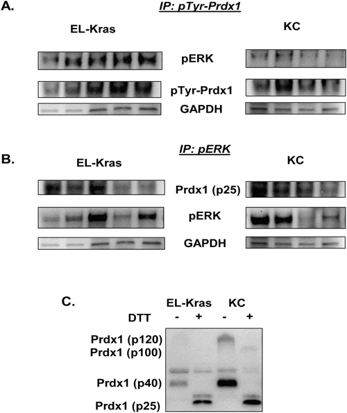 Differential pTyr-Prdx1/ERK interactions in EL-Kras and KC mouse tissue.