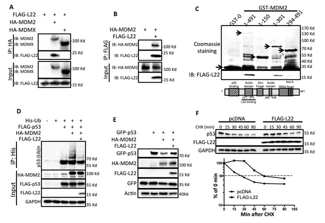 RPL22/eL22 binds to MDM2 and suppresses MDM2-mediated p53 degradation.