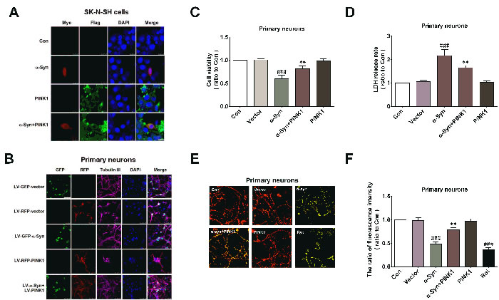 PINK1 attenuates α-Syn-induced mitochondrial dysfunction and cytotoxicity.