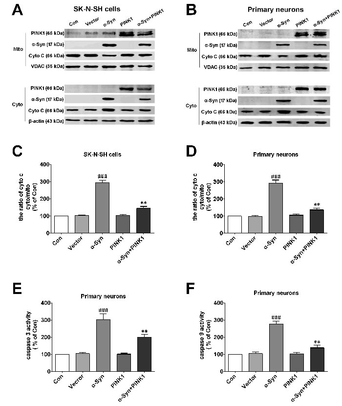 PINK1 protects cells against mitochondrial dependent apoptosis induced by α-Syn overexpression.