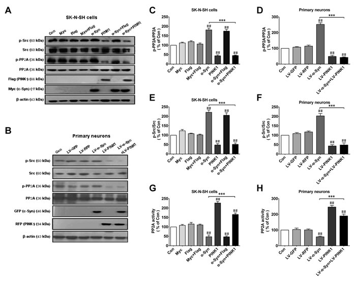 PINK1 overexpression reverses α-Syn-induced PP2A phospho-inhibition and Src phospho-activation.