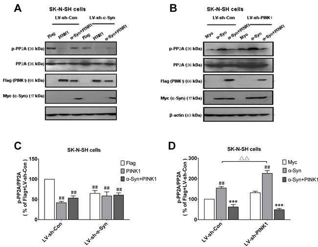 α-Syn-induced increase in p-PP2A is enhanced by PINK1 silencing.