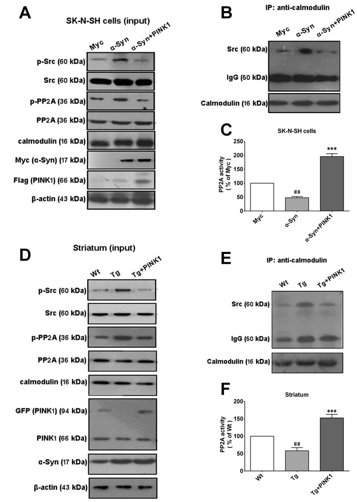 PINK1 overexpression reverses α-Syn-induced binding of calmodulin to Src.