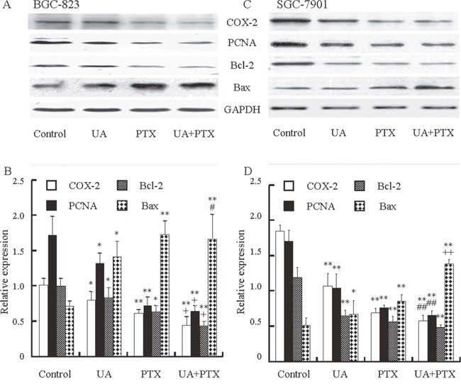 Effects of UA and PTX on the COX-2, PCNA, Bcl-2, and Bax expression in BGC-823 and SGC-7901 cells.