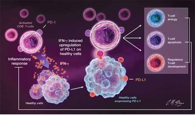 PD-1 is constitutively expressed on activated T cells, B cells, and other myeloid cells.