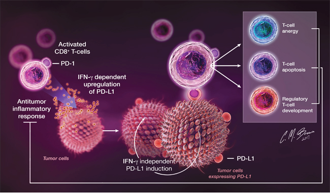 In the setting of cancer, PD-L1 is upregulated on tumor cells in response to IFN-γ released by infiltrating immune cells during antitumor immune responses, as well as through tumor-specific IFN-γ-independent mechanisms.