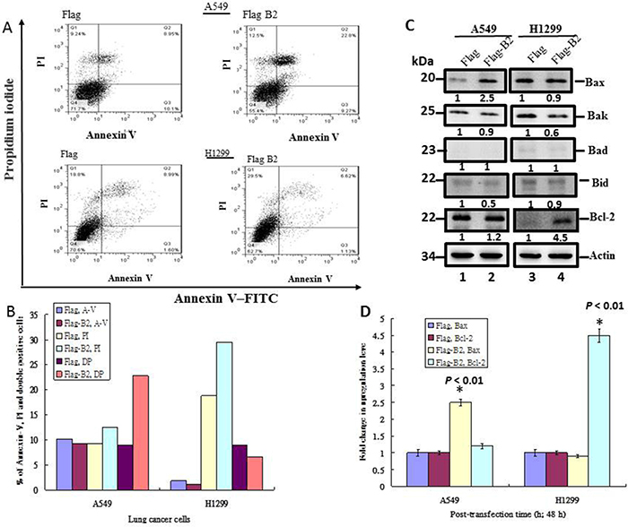 B2 protein induces Bax-mediated apoptosis in A549 cells, but induces RIP3-mediated necroptosis in H1299 cells.