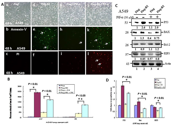 A P53 inhibitor blocks apoptosis and promotes necroptosis in A549 cells.