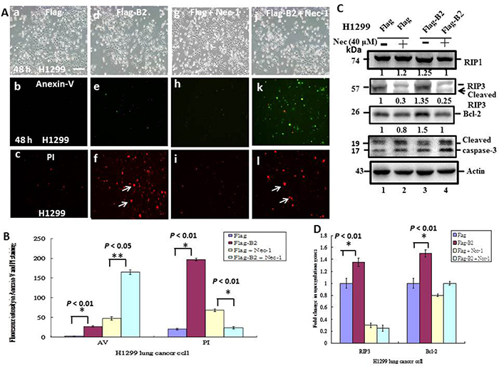 Blockage of RIP3 function switches B protein-transfected H1299 cells from necroptosis to apoptosis.