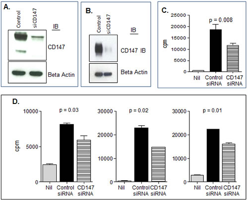 CD147 plays a role in MV bioactivity.