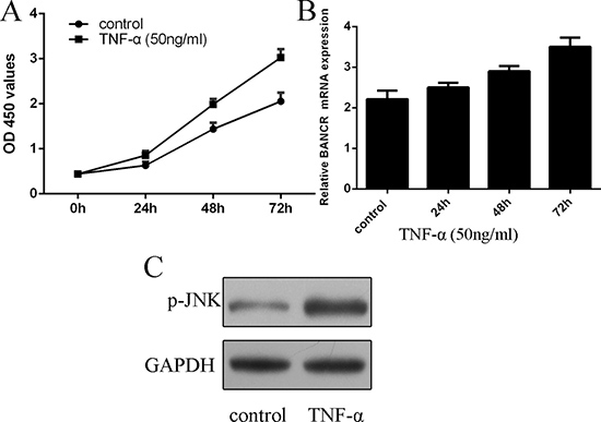 BANCR expression was upregulated by TNF-α in the VSMCs.