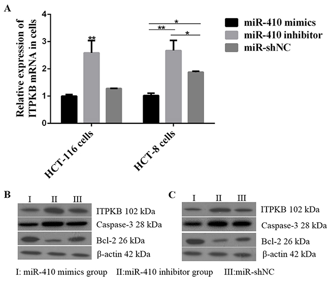 Effects of miR-410 on ITPKB and apoptosis factors in HCT-116/HCT-8 cells.