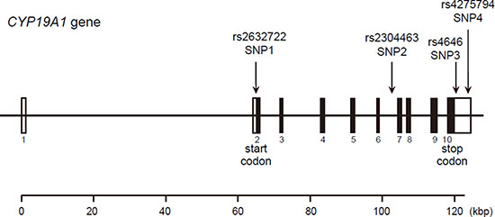 Structure of the human CYP19A1 gene.