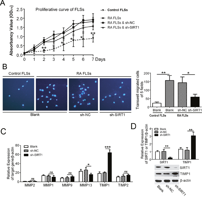 SIRT1 contributed to the invasion of RA FLSs by suppressing TIMP1.