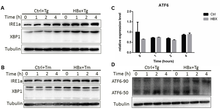 HBx impact on IRE1a and ATF6 pathways.