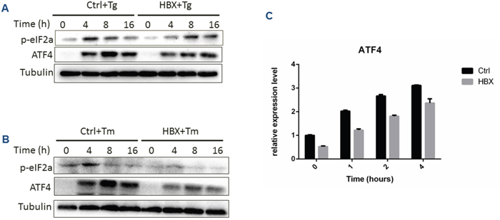 Effect of HBx expression on PERK branch under ER stress condition.