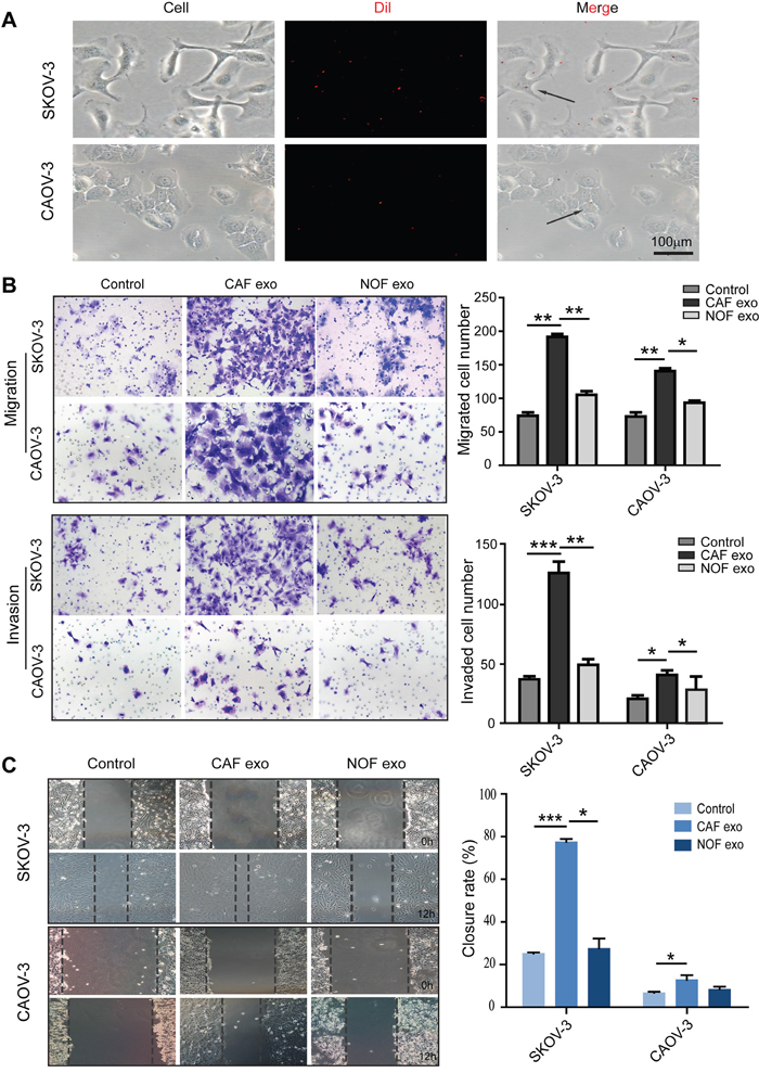 Fibroblast-derived exosomes enter and stimulate migration and invasion of ovarian epithelial cell lines.