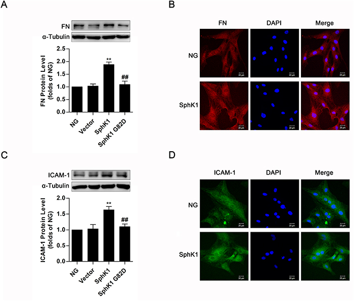Overexpression of SphK1 elevated expressions of FN and ICAM-1 in normal glucose-cultured GMCs.