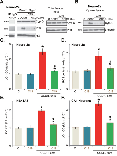 C19 inhibits OGD/re-oxygenation-induced programmed necrosis in neuronal cells.