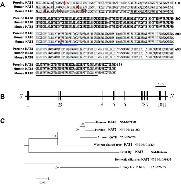 Genomic organization and homologous analysis of porcine KAT8.