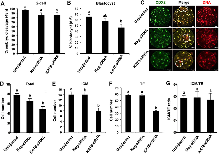 Effect of KAT8 knockdown on porcine early embryo development and quality.
