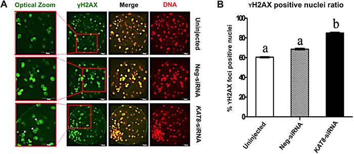 KAT8 knockdown induces DNA damage in porcine blastocysts.