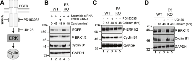HPV18 requires EGFR activation to maintain cyclin B1 expression in differentiating cells.