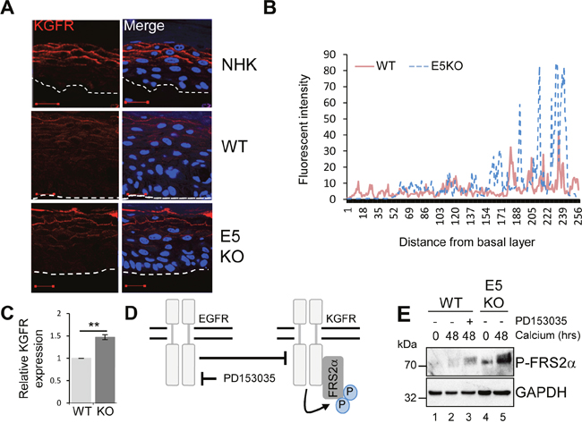 HPV18 E5 inhibits the KGFR signalling pathway.