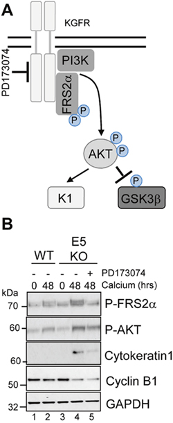 Pharmacological inhibition of KGFR activity compensates for loss of E5 and impairs keratinocyte differentiation.
