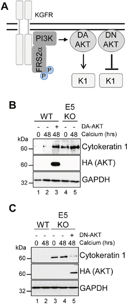AKT is essential for the modulation of keratinocyte differentiation by HPV18.