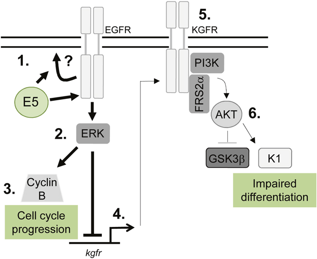 Schematic model depicting the proposed role of EGFR signalling in the E5-mediated manipulation of proliferation and differentiation pathways during the virus life cycle.