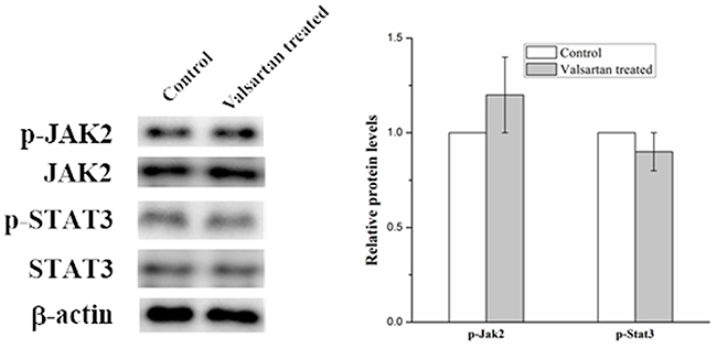 Western blot analysis on the p-Jak2 and p-Stat3 expression level in A549 cells with the treatment of Valsartan.