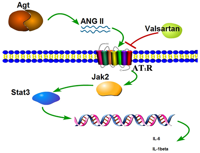 Scheme of the Agt overexpression promote the inflammation factors release via the Jak/Stat signal pathway.