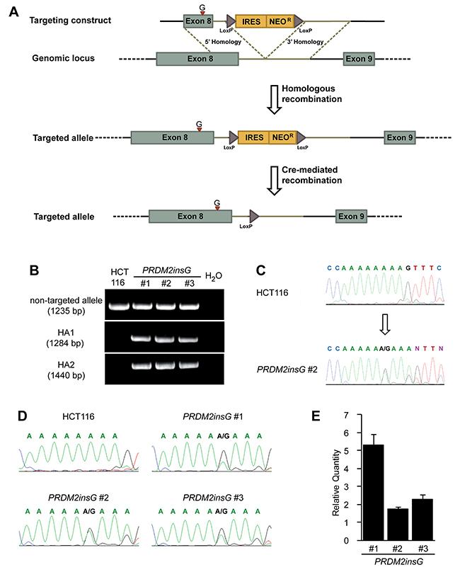Restoration of endogenous PRDM2 in HCT116 colorectal cancer cells.